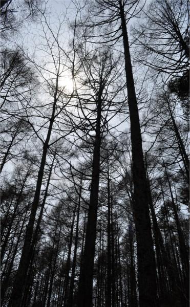 カラマツの森