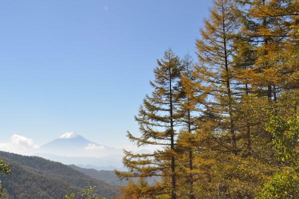 大菩薩山腹の落葉松林