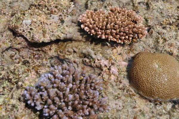 八重干瀬のサンゴ